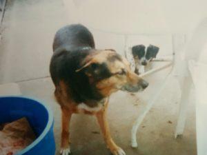 Bismark the German shepherd dog with Rex the dalmatian puppy trailing behind him