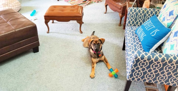 dog with a toy in the middle of a living room