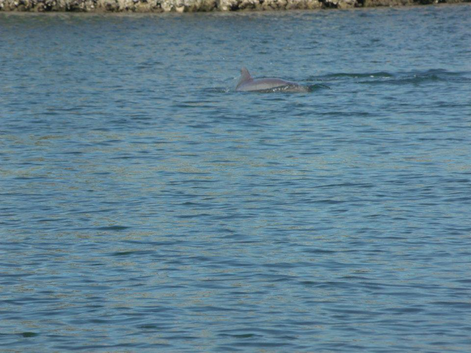 Dolphin in the Canal