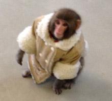 Monkey in a Jacket outside IKEA