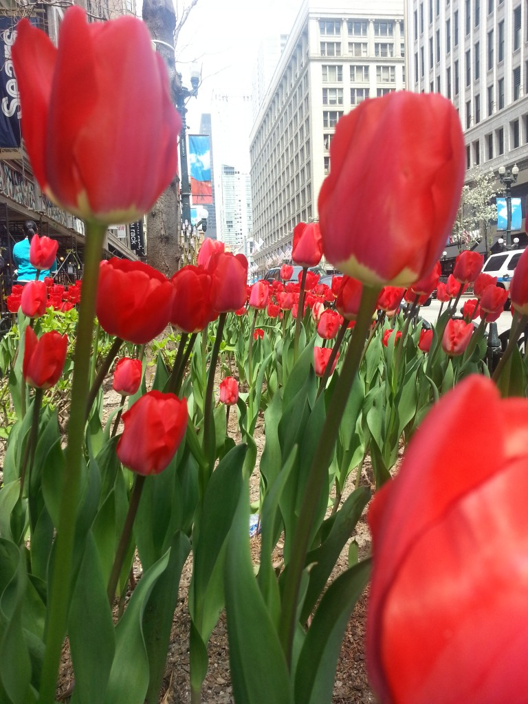 Spring Tulips on State Street