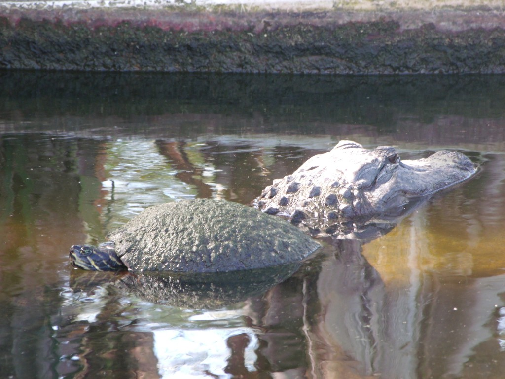 Turtle gator ride