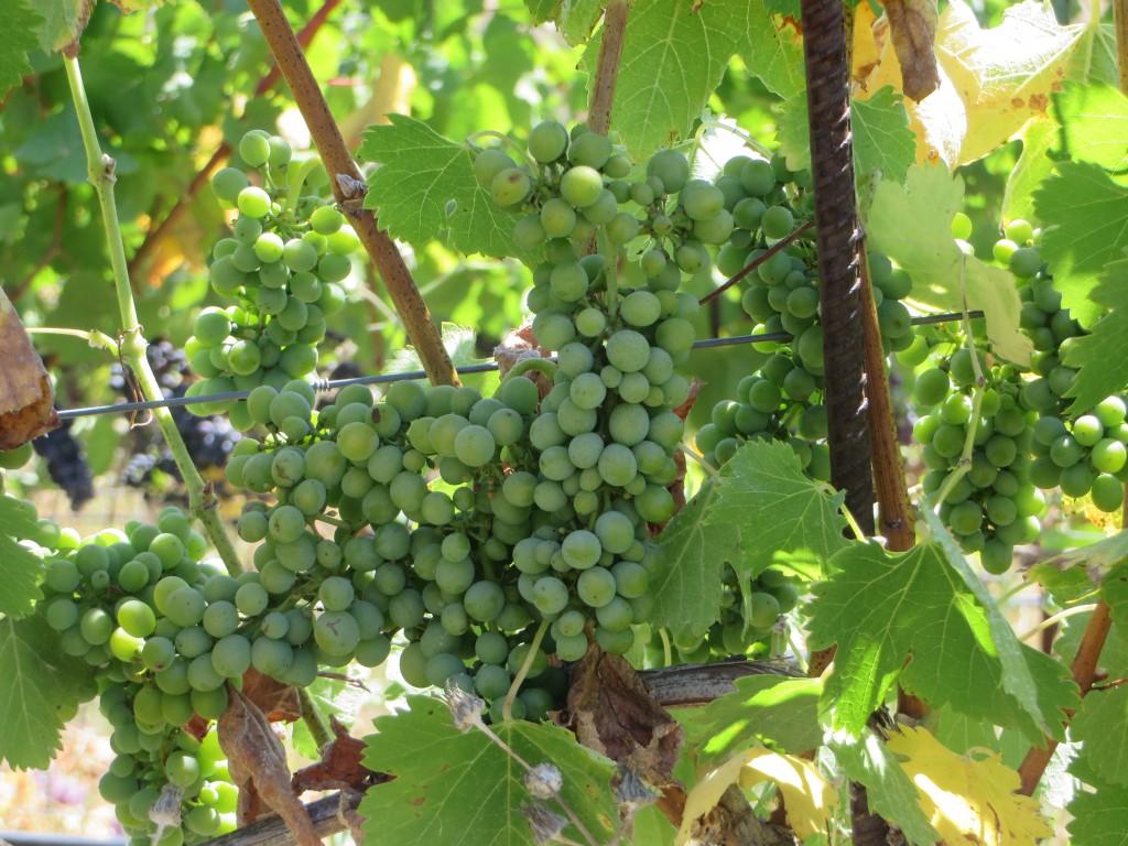 Petaluma grapes