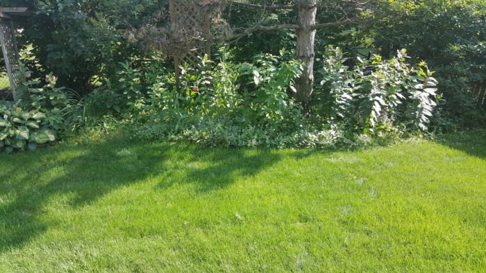 Illinois prairie backyard with milkweed